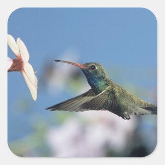 Broad-billed Hummingbird, Cynanthus 2 Square Sticker