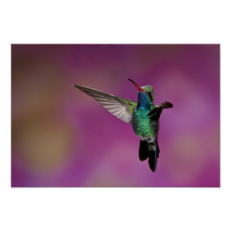 Broad-Billed Hummingbird, Cynanthus Poster