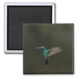 Broad-billed hummingbird in flight magnet