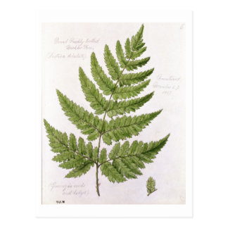 Broad Prickly-toothed Buckler Fern, painted at Bra Postcard