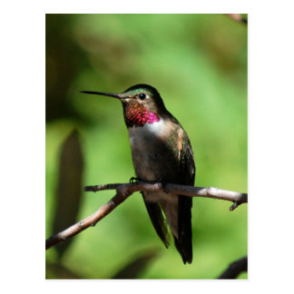 Broad-tailed Hummingbird Postcard