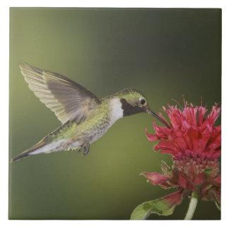 Broad-tailed Hummingbird, Selasphorus 2 Tile