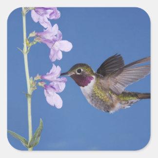 Broad-tailed Hummingbird, Selasphorus Square Sticker