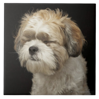 Brown and white Shih Tzu with eyes closed Tile