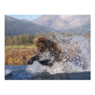 Brown bear grizzly bear catching pink salmon post card