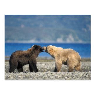 Brown bear, grizzly bear, play on the beach, postcard