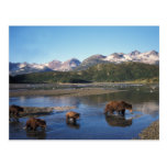 Brown bear, grizzly bear, sow and cubs in post card