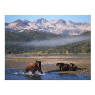 Brown bear, grizzly bear, sow fishing with cubs, postcard