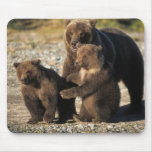 Brown bear, grizzly bear, sow with cubs on coast