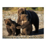 Brown bear, grizzly bear, sow with cubs on coast post cards