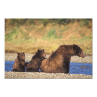 Brown bear, grizzly bear, sow with cubs, photographic print