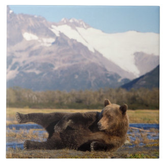 Brown bear, grizzly bear stretching on its back tile