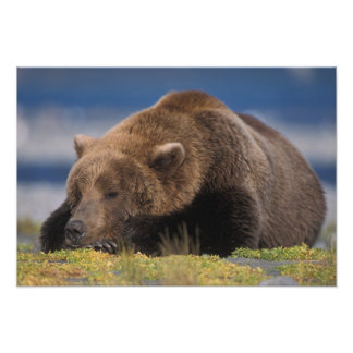 Brown bear, grizzly bear, taking a nap, Katmai Photo