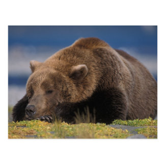 Brown bear, grizzly bear, taking a nap, Katmai Postcard