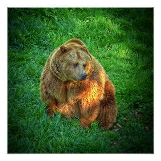 Brown bear in warm sunlight perfect poster