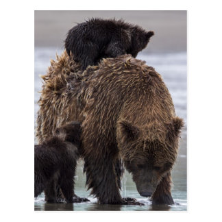 Brown Bear | Lake Clark National Park Postcard