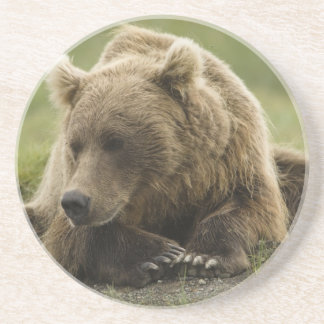 Brown bear, or Coastal Grizzly Bear, Ursus Coasters