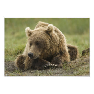 Brown bear, or Coastal Grizzly Bear, Ursus Photo Print