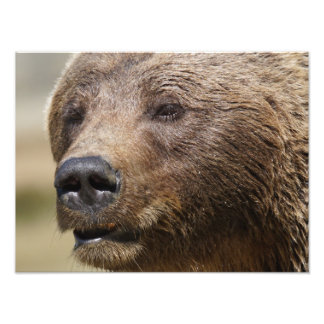 Brown Bear Photo Print