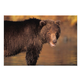 brown bear, Ursus arctos, grizzly bear, Ursus 2 Photographic Print