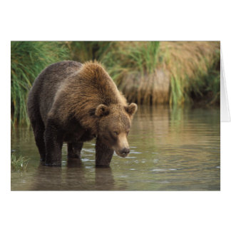brown bear, Ursus arctos, grizzly bear, Ursus 3 Greeting Card