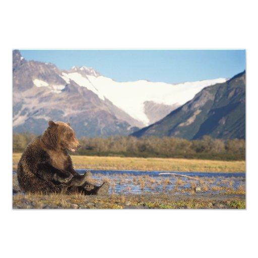 brown bear, Ursus arctos, grizzly bear, Ursus 3 Photo Art