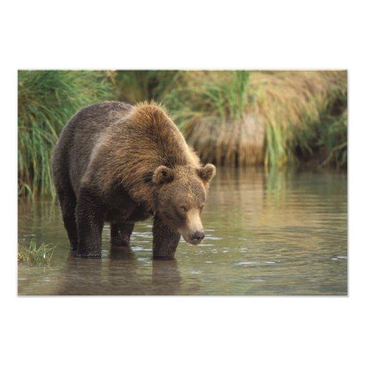 brown bear, Ursus arctos, grizzly bear, Ursus 4 Photograph