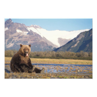 brown bear, Ursus arctos, grizzly bear, Ursus 6 Photograph