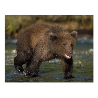 brown bear, Ursus arctos, grizzly bear, Ursus 6 Postcard