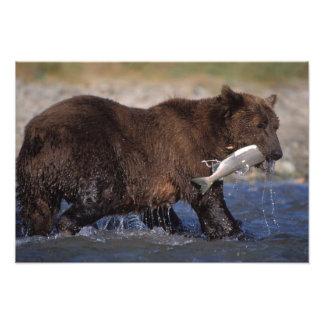 brown bear, Ursus arctos, grizzly bear, Ursus 7 Photo Art
