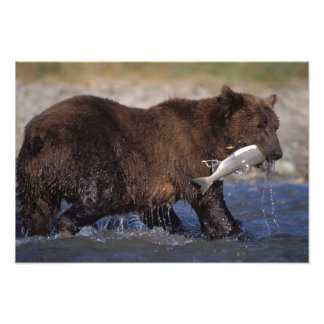 brown bear, Ursus arctos, grizzly bear, Ursus 7 Photo Print