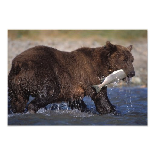 brown bear, Ursus arctos, grizzly bear, Ursus 7 Photo