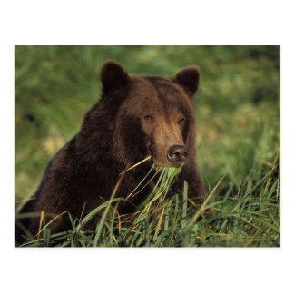 brown bear, Ursus arctos, grizzly bear, Ursus 7 Postcard