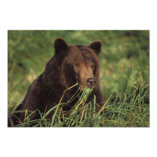 brown bear, Ursus arctos, grizzly bear, Ursus 8 Photo Art