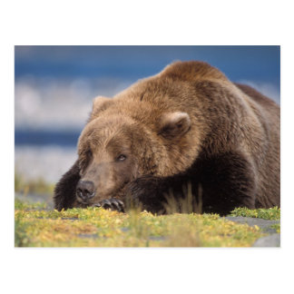 brown bear, Ursus arctos, grizzly bear, Ursus 8 Postcard