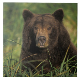 brown bear, Ursus arctos, grizzly bear, Ursus 9 Tile