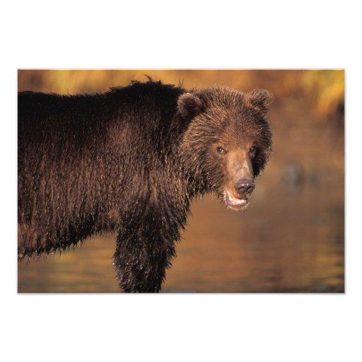 brown bear, Ursus arctos, grizzly bear, Ursus Photo Art