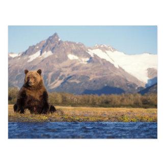 brown bear, Ursus arctos, grizzly bear, Ursus Postcard