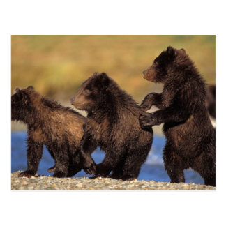 brown bear, Ursus arctos, grizzly bear, Ursus Postcard