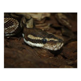 Brown Carpet Python Postcard