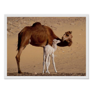 Brown Dromedary Mother Camel with White Calf Poster