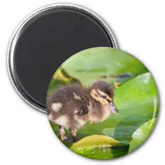 Brown duckling walking on water lily leaves 2 inch round magnet