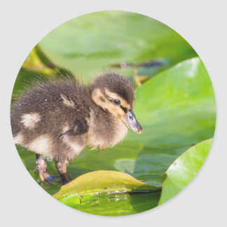 Brown duckling walking on water lily leaves classic round sticker