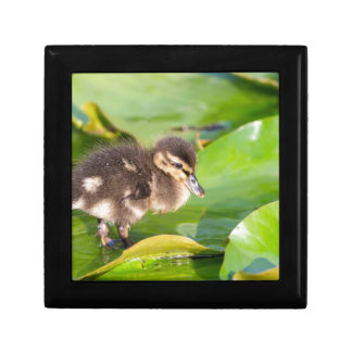 Brown duckling walking on water lily leaves gift box
