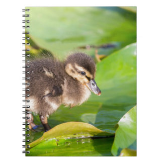 Brown duckling walking on water lily leaves spiral notebook