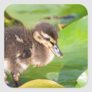Brown duckling walking on water lily leaves square sticker