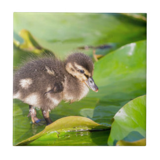 Brown duckling walking on water lily leaves tile