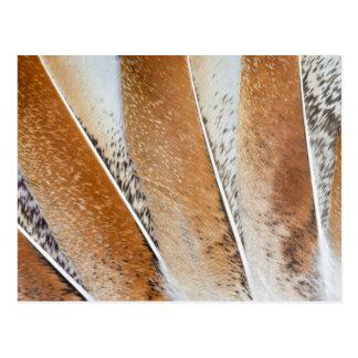 Brown Fanned Turkey Feather Design Postcard