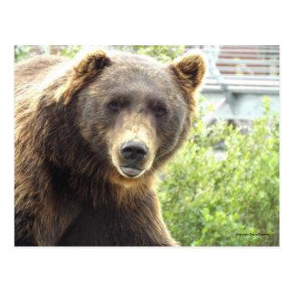 Brown Grizzly Bear in Alaska Postcard