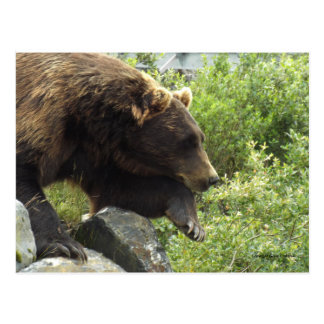 Brown Grizzly Bear leans over rock in Alaska Postcard